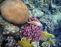 Goniastrea edwardsi (Faviidae) coral. Plate fire coral (Millepora platyphylla) and the Blackside Hawkfish on the pink Raspberry corals. In front of the fish you can see the fantastic Red Sea Giant clam, which has a fascinating blue color.