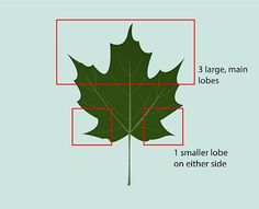 """How to Identify Sugar Maple Trees""""The sugar maple tree (Acer saccharum) grows abundantly in the northeastern part of North America. Sugar maples produce strong, versatile timber and yield maple syrup - both commodities contribute considerably to the economy of the region"""""""