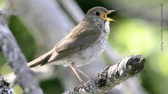 california thrush - Google Search
