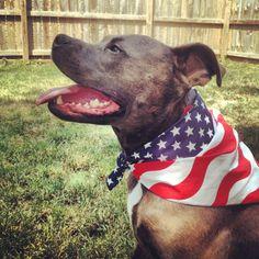 Phoebe the Pitbull Patriot!  #dog #pitbull #dogsofinstagram #fourthofjuly #4thofjuly #american #mansbestfriend