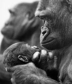 Animals Zoo Park: Mothers Love - Animals love Pictures and Photos Primates, Mammals, Gorilla Gorilla, Cute Baby Animals, Animals And Pets, Funny Animals, Wild Animals, Beautiful Creatures, Animals Beautiful