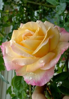 Climbing Rose 'Peace' my two favorite colors in one rose? I say yes please.