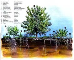 The members of the Fruit Tree Guild support the fruit tree in numerous ways: by luring beneficial insects for pollination, boosting soil tilth & fertility, reducing root competition, conserving water, balancing fungal population to counter disease, diversifying the yield of food, creating habitat, & several other functions. The result is a healthier tree & a varied ecology. Also, this biological support replaces human intervention, shifting the gardener's workload onto the broad back of…