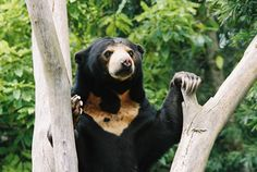Sun Bears get their name from the yellow-ish mark many have on their chests - that looks like the rising sun.   Sun bears are the smallest of the eight bear species.Little is known about the social habits of sun bears or how many there are remaining in the wild.