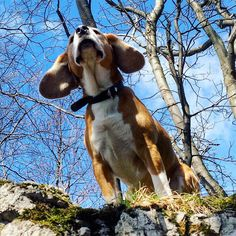 Наш любимец семьи - Илай . Он просто чумачечий от прогулок по горам . Our family member - Eli . He is crazy about mountain walking. #собака #бигль #прогулка #горы #dog #beagle #funny #walk #walking #nature #mountain #mountains #sunny #bluesky #animal #ani
