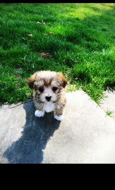 Teacup Morkie!! Mom I want it now pleaseeeeeeeee