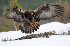 Aigle Royal - Aquila chrysaetos