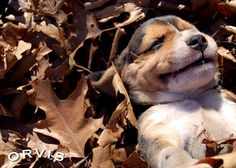 Little puppy grins because who doesn't love playing in a pile of leaves?