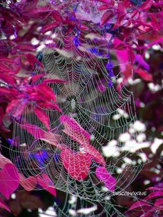 Gorgeous spiderweb suspended from autumnal leaves.