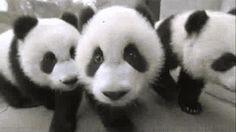 Cats and Pandas :D - Imgur