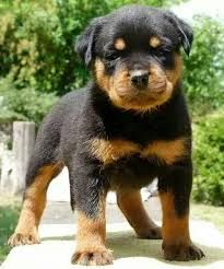 An Adorable Rottweiler Meets A Baby For The First Time - The Pooch Online Cute Puppies, Cute Dogs, Dogs And Puppies, Doggies, Baby Puppies, Positive Dog Training, Training Your Dog, West Highland Terrier, Cabras Boer