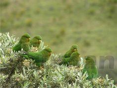 Rufous-fronted Parakeet(Bolborhynchus ferrugineifrons)  trumandavid001