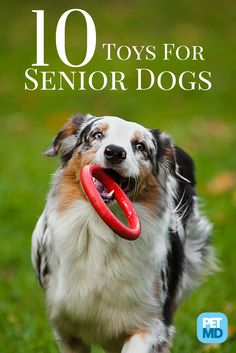 Making sure your senior dog gets a lot of playtime, is a great way to challenge him both, mentally and physically! Paralyzed Dog, Dog Enrichment, Disabled Dog, Dog Ages, Training Your Dog, Training Tips, Old Dogs, Dogs And Puppies, Dogs 101