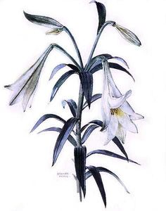 Lilium longiflorum by Brenda Moore