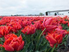 velden met tulpen, Sassenheim