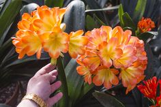 Clivia Miniata and Clivia Interspecific Images - Spring 2017 Colorado, Number, Spring, Plants, Image, Aspen Colorado, Flora, Plant, Skiing Colorado