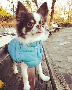 Blue is my favorite color @tono.114 - - #puppylove #doglover #dogoftheday #instapet #doggy #doglovers #dogsofig #doglife #dogsofig #doglife #doggie #doglove #happydog #hund #perro #dogscorner #dogsofinstaword #chien #doge #dogloverstagram