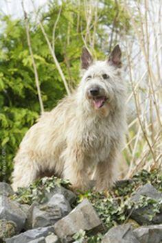 Bouvier des Ardennes I Love Dogs, Puppy Love, Cute Dogs, Mans Best Friend, Best Friends, Dog Names, Four Legged, Dog Pictures, Pet Birds