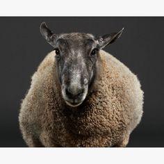 Bluefaced Leicester Ram Sheep Photograph Art Print