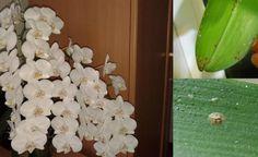 Orchidea dlhú dobu nekvitla. Keď sa dozvedela príčinu, bola zdesená. Toto postihne 90% slovenských orchideí   Báječné Ženy Ale, Fruit, Food, Euro, Meal, Ale Beer, The Fruit, Essen, Hoods