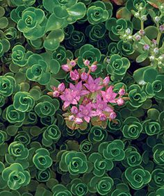 Sedum spurium 'John Creech', Zones 4 to 9