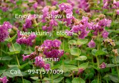 Unexpected blooming of neelakurinji at Munnar Kurinji sanctuary. Mystical Rose offers affordable munnar packages with varrious facilities. Read more:http://goo.gl/nJvXju