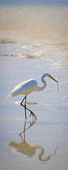 ~Sea*Bird ~*egret fishing for worms
