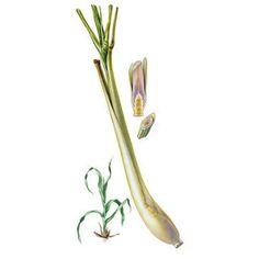 Chémotypes : citral (néral + géranial) / Nom botanique : cymbopogon flexuosus Origine : Inde / Partie distillée : feuille
