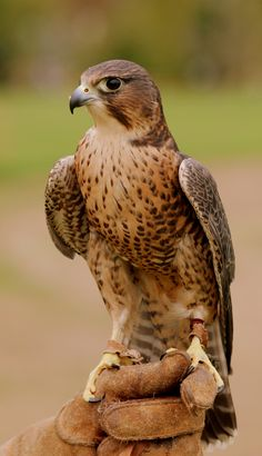 merlin bird of prey | Peregrine/Merlin cross flown by the Exmoor Forest Bird of Prey Centre ...
