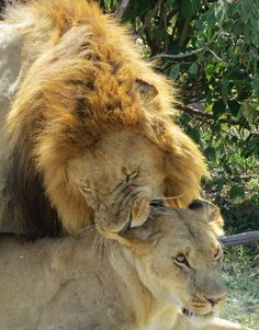 Lion Mating Ritual Photo by Patricia Davidson — National Geographic Your Shot