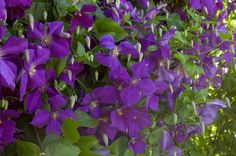 """Clematis Jackmanii, Clematis 'Jackmanii Superba', is known to be an improved Clematis 'Jackmanii' with its broader petals and deeper rich purple color when flowers first open. The 5"""" flowers transition from deep purple to a lighter violet with age. 'Jackmanii Superba' is an excellent cultivar for later season color - blooming from midsummer to early fall. Jackmanii can also be used as a ground cover! #garden #spring #gardenchat #trees #flowers #gardening #plants"""