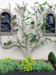 Vertical Gardening Ideas Espalier Fig tree coming into leaf. Fruit Garden, Garden Trees, Edible Garden, Garden Planters, Small Gardens, Outdoor Gardens, Espalier Fruit Trees, Orchard Design, Tuscan Garden