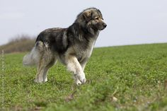 Carpathian shepherd dog Beautiful Dogs, Animals Beautiful, Caucasian Shepherd Dog, Pet Dogs, Dog Cat, Animals And Pets, Cute Animals, Kittens And Puppies, Mountain Dogs