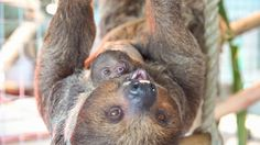 Baby Sloths at Busch Gardens Tampa http://ift.tt/1WINlzu How to Make your own #DIY #Samsung #Galaxy S3/ S4/ S5/ S6/ Note 4/ Note 5 #Case http://ift.tt/1hhZudr #Animals #Animal