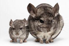 Chinchilla, adorabilul animăluț de companie. #pentruanimale Chinchilla, Mice, Cats, Chinchillas, Gatos, Computer Mouse, Cat, Kitty