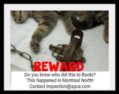 Boots the cat, caught by a trap. Reward for information that leads to an arrest.   $2400 for information that leads to arrest of steel leg-hold trap user - Montreal Animal Advocacy | Examiner.com http://exm.nr/LA4eEI