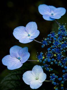 Hydrange *blue*