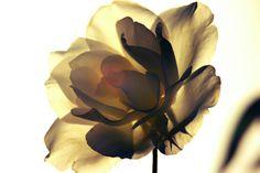 Y me gusta tanto esta rosa, que sigo jugando con ella