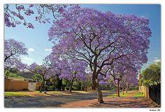 JACARANDÁ-MIMOSO (Jacaranda mimosifolia) Árvore de porte médio, que atinge cerca de 15 metros. Copa rala, arredondada a irregular.  No inverno, perde suas folhas, que dão lugar às flores na primavera. Flores duráveis, perfumadas e grandes, de coloração azul ou arroxeada que se estende por toda a primavera e início do verão.Utilizada na ornamentação de ruas, calçadas, praças e parques, pois suas raízes não são agressivas. No paisagismo, adorna pátios e jardins residenciais ou públicos.