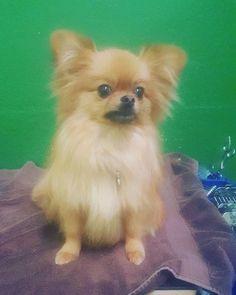 #pomeranianlove  #pom #babydog #yorkie #sweet #baby #amazing #lovely #cool #deslyspg #deslyspetgrooming #havingablast #pet #downtownla  #losangeles  #dtla_everyday #dtla #LAlive #culvercity  #usc #santamonica  #poochs  #grooming #petspa #petgroomer  #catgrooming
