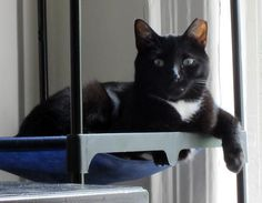 Meet Henry Lee: Big & Loving 6 Y.O. Lap Cat! Asthma Kitty., a Petfinder adoptable Domestic Short Hair-black and white Cat | Brooklyn, NY | Henry Lee is a social, friendly, and large 15 lb. boy, with shiny black fur, a white bikini, and...