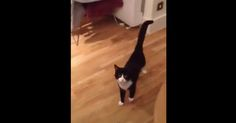 A Cat Breaks Out Into Funny Walk ♥ video
