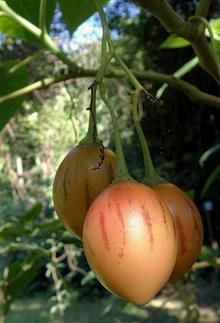 Tamarillo (Solanum betacum)-Tree tomato is a small tree with edible fruit native to the Andes of South America