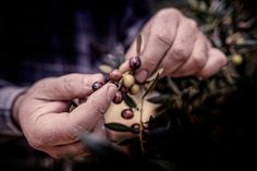 bb shabby liguria : 1000+ images about QUEEN OLIVE on Pinterest Olive Tree, Olive Oil ...