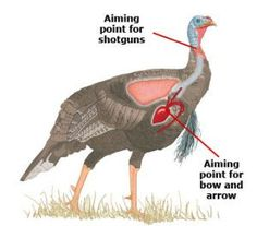 Before Shooting a Turkey - Be sure you know when and where to shoot a turkey, and with which gun. In this article, we discuss distance concerns, how to prevent a mere wound, and how to take aim with a bow. Great tips Quail Hunting, Deer Hunting Tips, Hunting Guns, Turkey Hunting, Archery Hunting, Hunting Stuff, Coyote Hunting, Crossbow Hunting, Pheasant Hunting