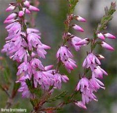 Calluna vulgarisRøsslyngEricaceae LyngfamilienLIGNOSE /STUE Christmas Flowers, Beautiful Things, Plants, Art, Art Background, Xmas Flowers, Kunst, Plant, Planting