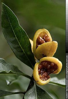 Wild bush fruit by Ted Szukalski Australia