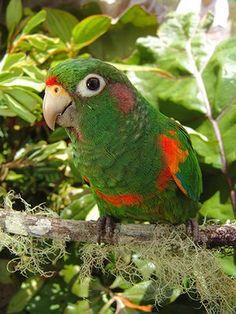 Nature reserves: The critically endangered Santa Marta parakeet