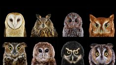 """Who's Who  """"These owls may wear the same game face, but when it comes to personality, they're as different as day and night."""