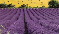 Hill Country Lavender